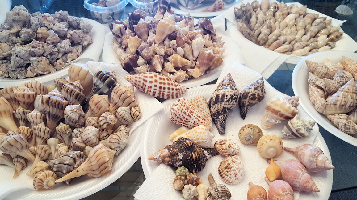 Seashells Collected by Gulf Beach Guest